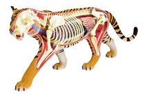 4D Vision Tiger Anatomy by Tedco Toys