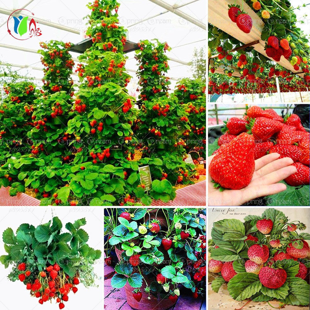600 PCS  Red  giant Climbing Strawberry Seeds Fruit Seeds For Home & Garden DIY  rare seeds for bonsai Free Shipping - 10MINUS: Online Shopping Destination with High-Quality