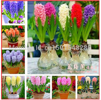 Hyacinth seeds,Free shipping cheap perfume Hyacinth seeds, mixing different varieties - 100 Hyacinthus Orientalis seeds - 10MINUS: Online Shopping Destination with High-Quality