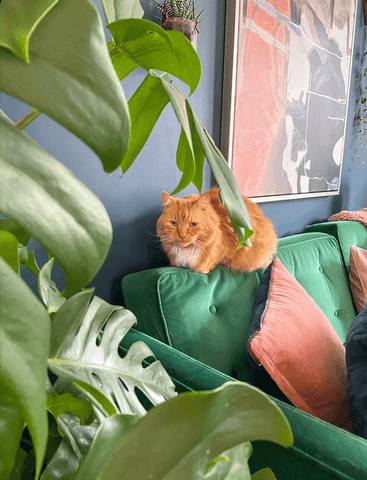 George the cat refuses to be outshone by an enormous Monstera plant