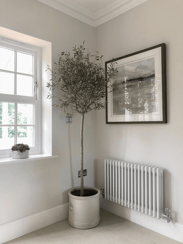 A lovely olive tree looks perfectly at home in a sunny spot in the corner of the kitchen