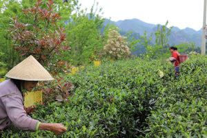 The Living Teas of Guizhou, China