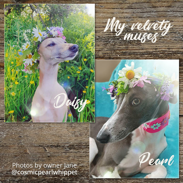 Daisy and Pearl - two whippets wearing flower crowns, photographed by cosmicpearlwhippet
