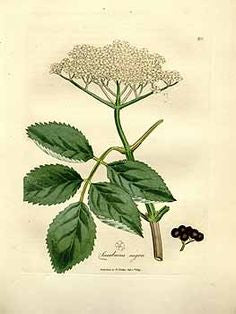 Elder Flower Tincture