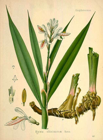 Greater Galangal Tincture