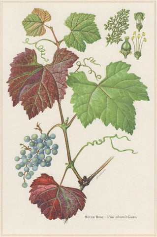 Grape Leaf Tincture