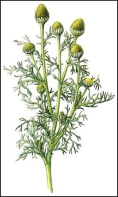 Pineapple Weed Tincture