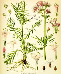 Whole Valerian Tincture