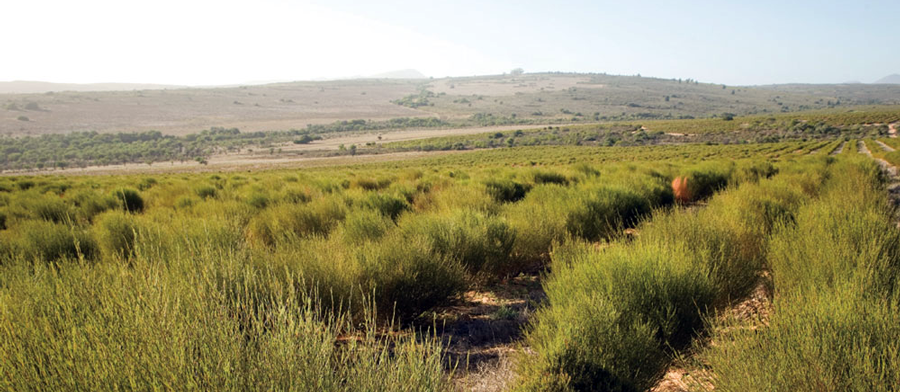 Rooibos red tea bush