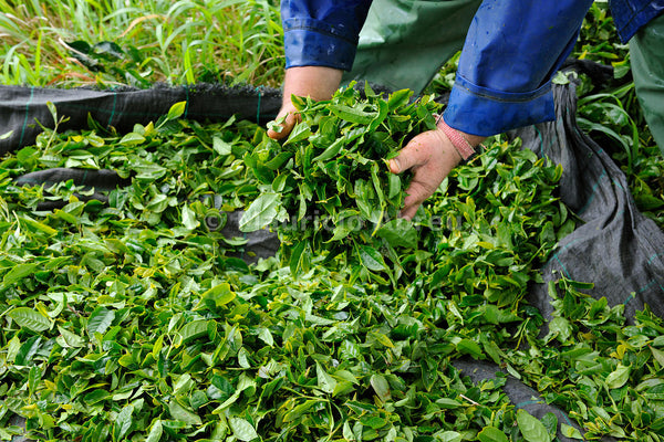 Studies Discover That Tea From The Azores Combats Alzheimer's and Parkinson's