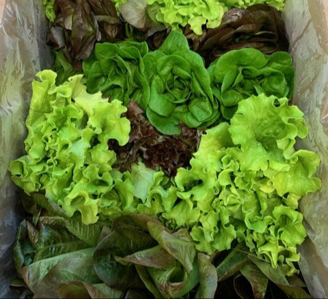 Lettuce: Mixed Variety Pack (6 heads) | Hydro Living Lettuce Box