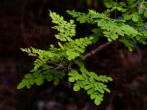 Super Green Wonders: The Health Benefits of Moringa