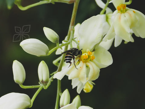 Moringa Flower - NatureMills