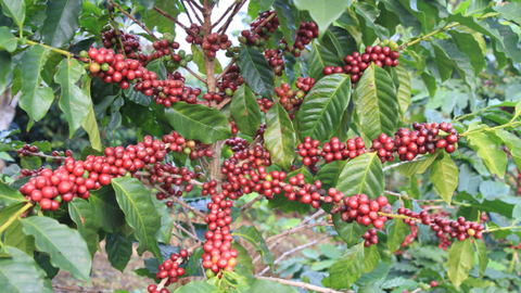 Coffee Tree with fruit