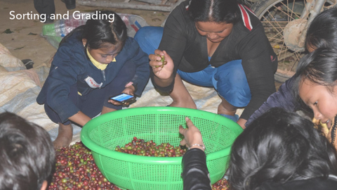 Sorting and Grading the coffee cherries