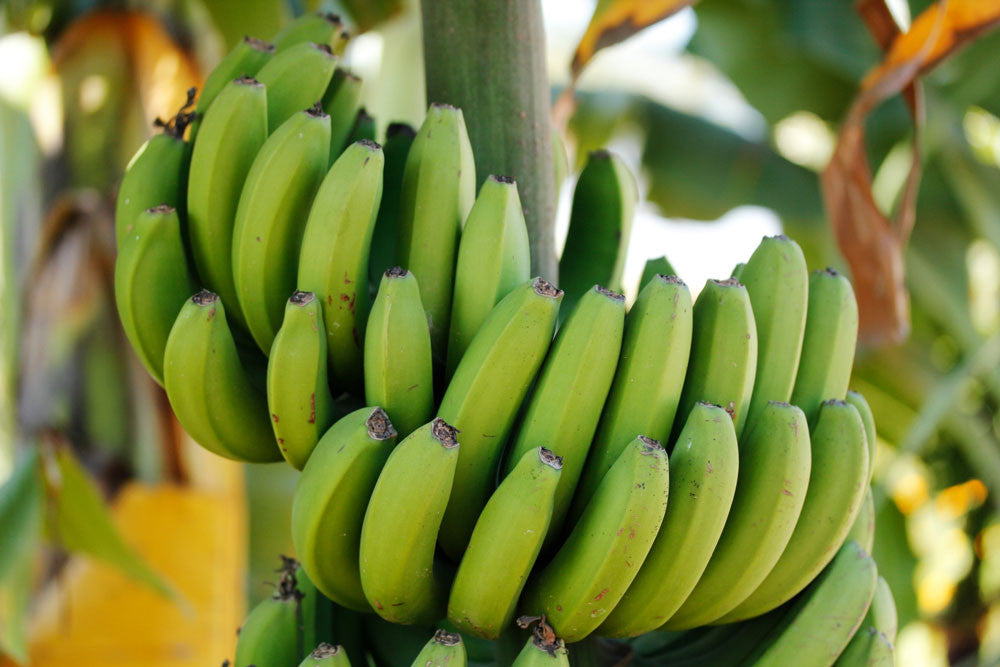 Bananas - The Optimal Fruit for Building Better Digestion and Cardiac Health