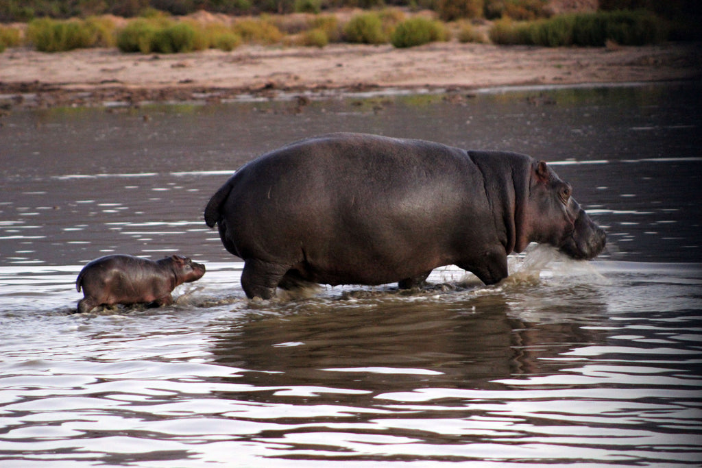 Cape Town's Game Reserve Is Proud To Announce The Arrival Of A Baby Hippo!