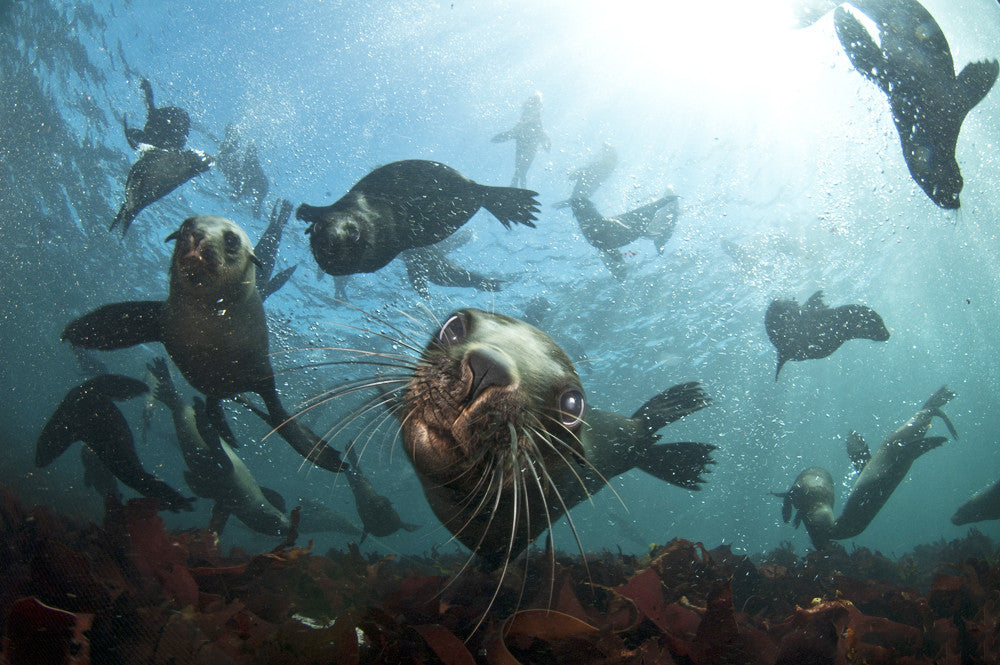 Snorkeling With The Cape Fur Seals