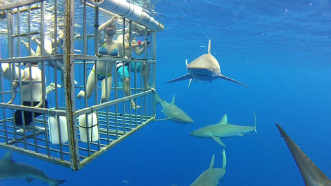 Let Riverlodge Backpackers book your Shark Cage Dive