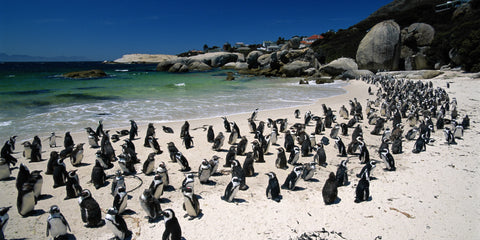 Cape Town Interesting Facts, Boulders Beach Penguins