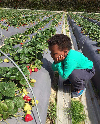 Strawberry picking at Polkadraai Farm, Fun Activities For Kids in Cape Town