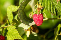 red raspberry, raspberry leaf