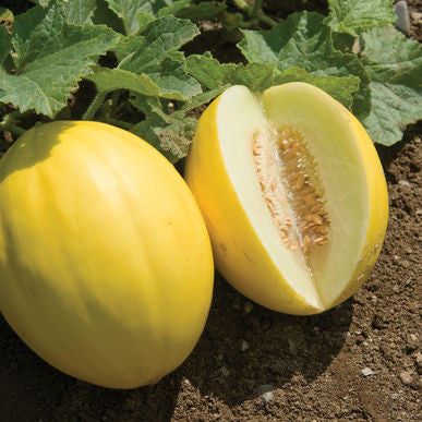 Brilliant Melon Seeds (Cucumis melo) + FREE Bonus 6 Variety Seed Pack - a $30 Value!