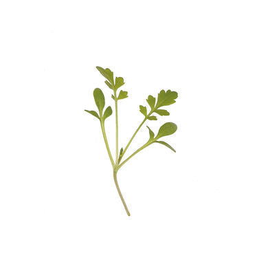 Cressida Cress Micro Green Seeds (Lepidium sativum)