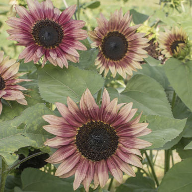 Strawberry Blonde Sunflower Seeds (Helianthus annuus) + FREE Bonus 6 Variety Seed Pack - a $30 Value!