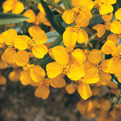 Mexican Mint Marigold Seeds (Tagetes lucida) + FREE Bonus 6 Variety Seed Pack - a $30 Value!