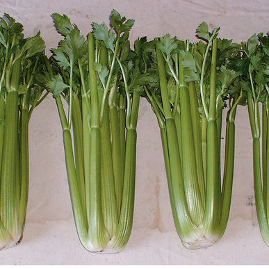 Conquistador Pelleted Celery Seeds (Apium graveolens) + FREE Bonus 6 Variety Seed Pack - a $30 Value!
