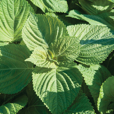 Asia Ip Shiso Seeds (Perilla frutescens) + FREE Bonus 6 Variety Seed Pack - a $30 Value!