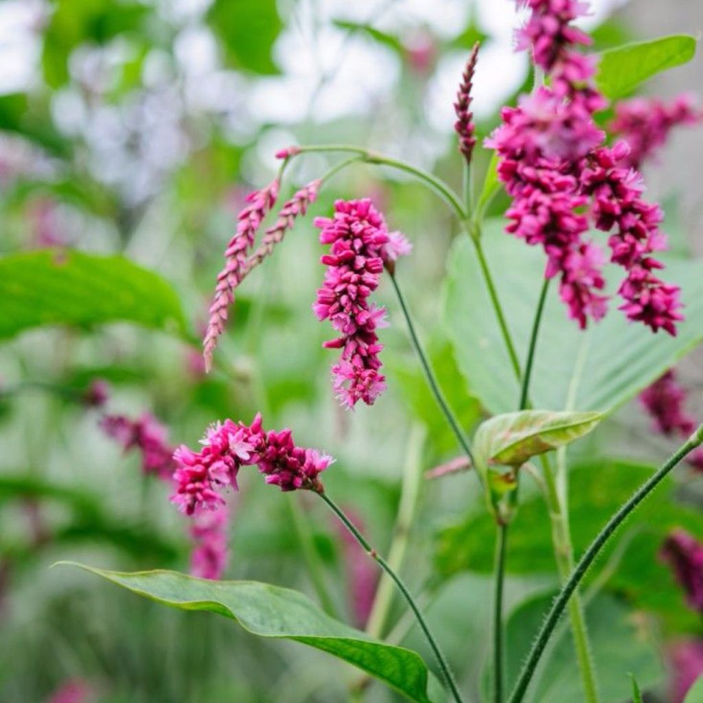 Kiss-Me-Over-The-Garden-Gate Seeds (Polygonum orientale)