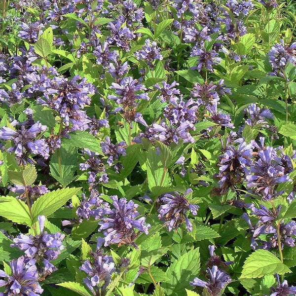 Grandview Catmint Seeds (Nepeta subsessilis)