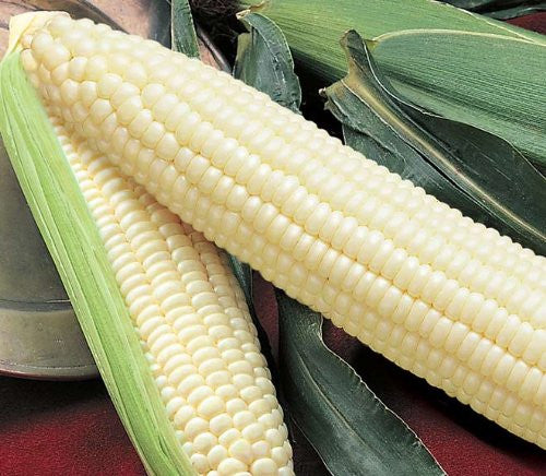 Silver Queen Corn Seeds