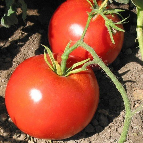 Boxcar Willie Tomato Seeds