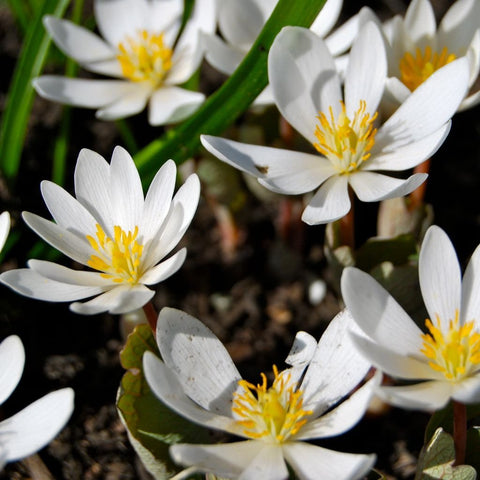 Bloodroot Seeds (Sanguinaria canadensis)