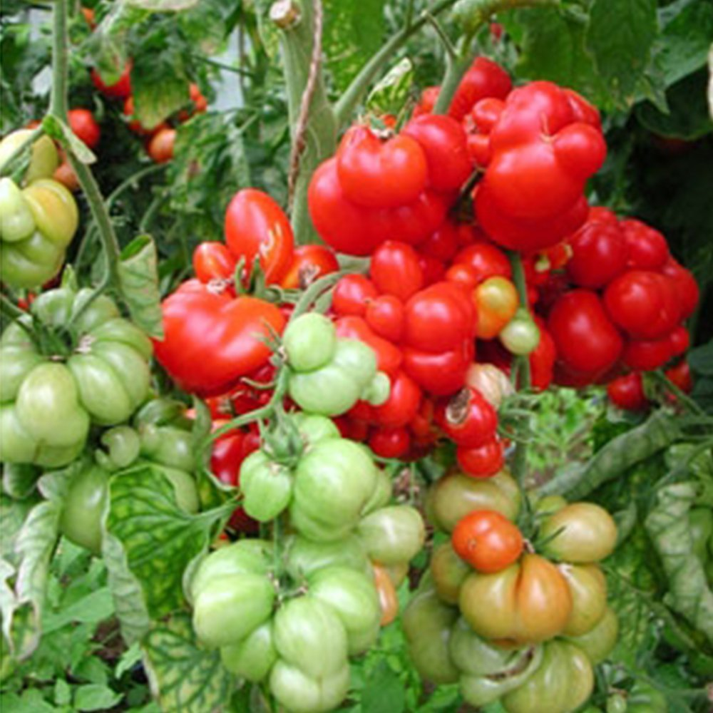 Krazy Ketchup Tomato Seeds