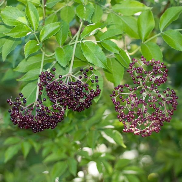 Everglades Elderberry Seeds (Sambucus canadensis)