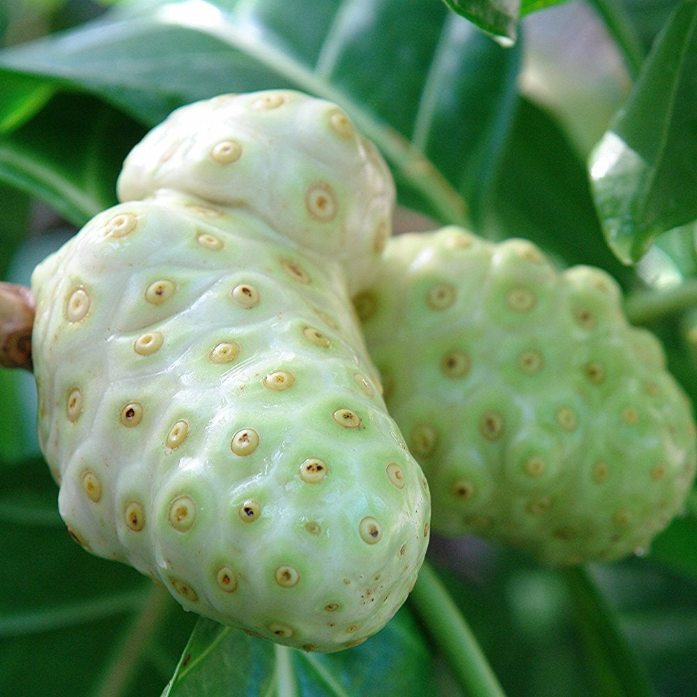 Noni Tree Seeds (Morinda citrifolia)