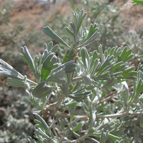 Big Sagebrush Seeds (Artemisia tridentata)