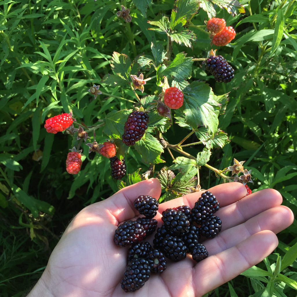 Michigan Blackberry Seeds  (Rubus allegheniensis)