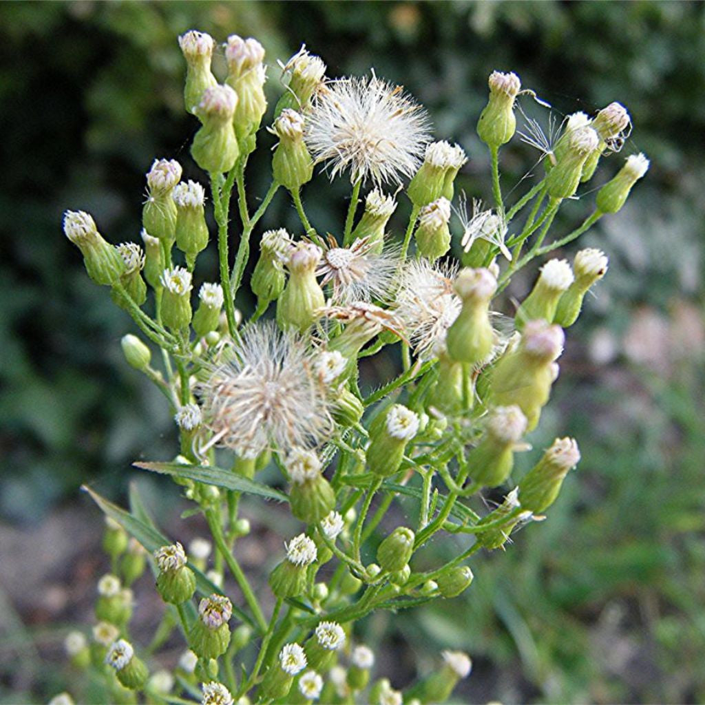 Canada Fleabane Seeds (Conyza canadensis) + FREE Bonus 6 Variety Seed Pack - a $30 Value!