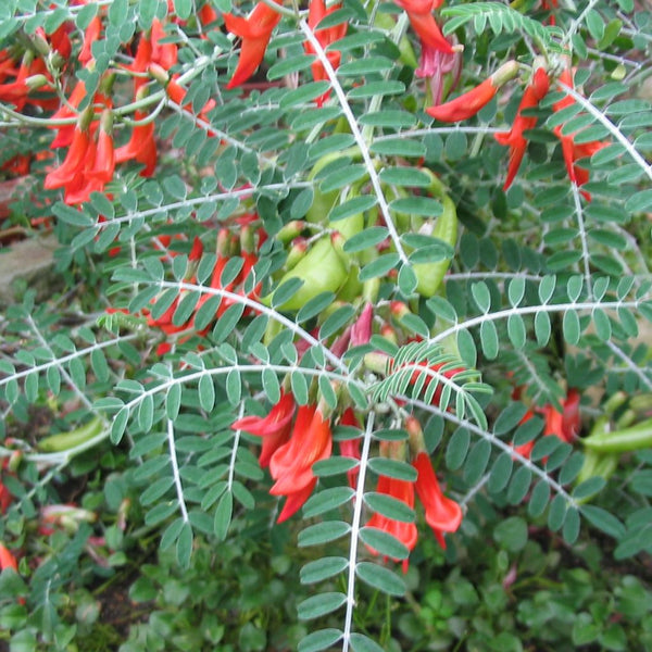 Cancer Bush Seeds (Sutherlandia frutescens)