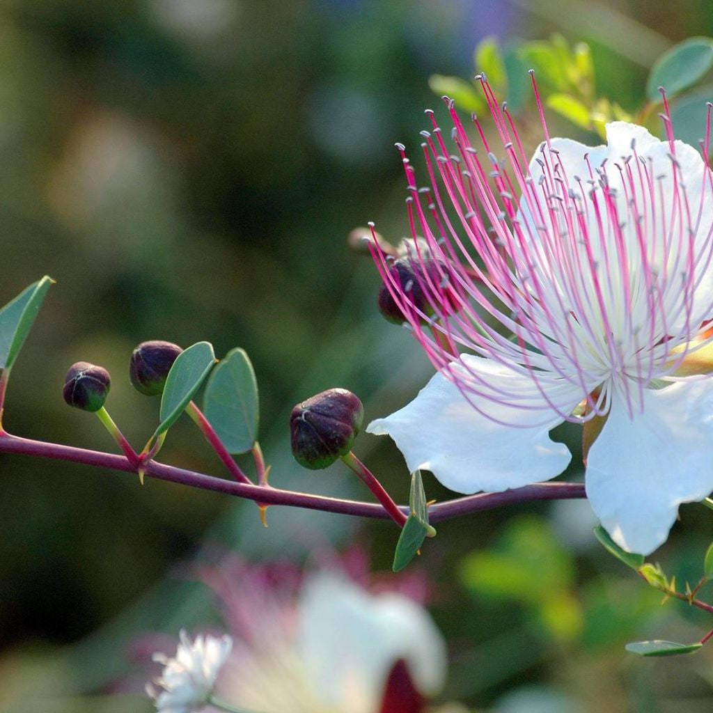 Caper Bush Seeds (Capparis spinosa inermis) + FREE Bonus 6 Variety Seed Pack - a $30 Value!