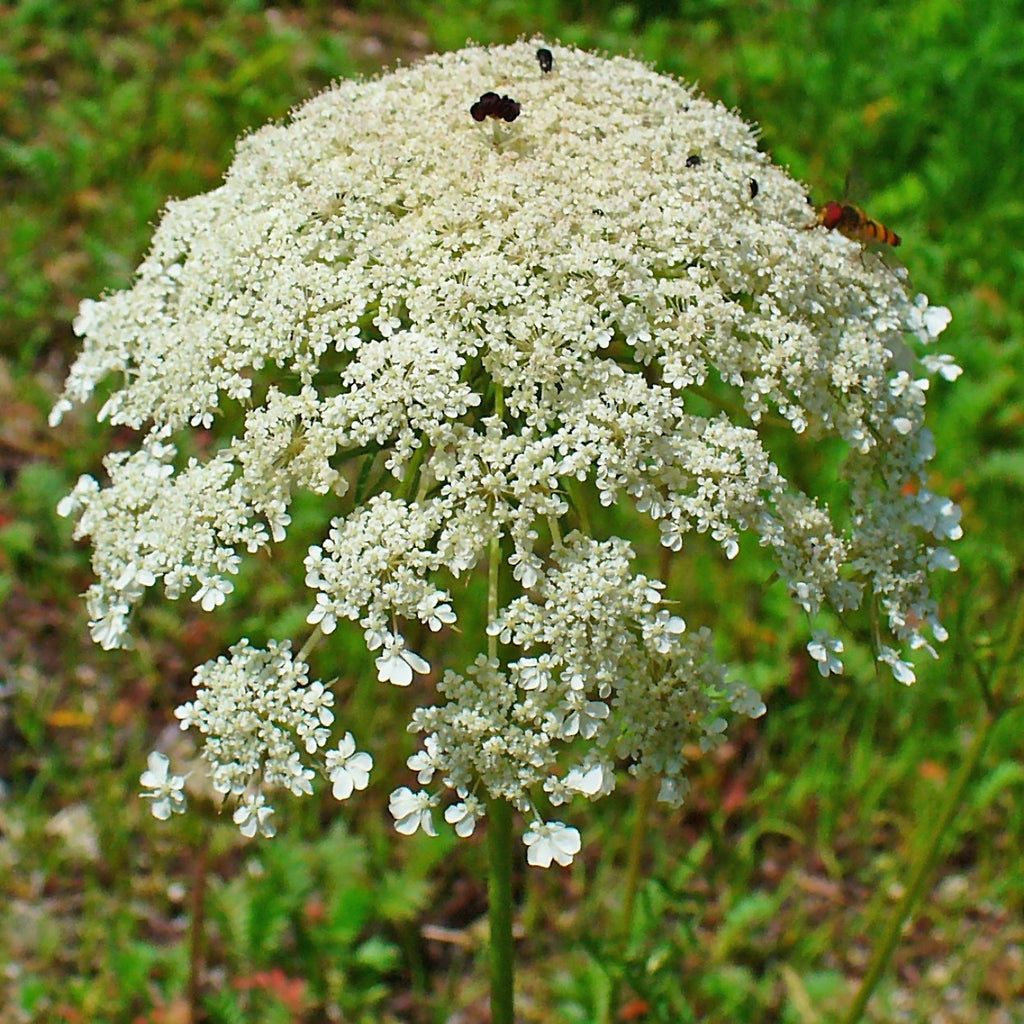 Bishop's Flower Seeds (Ammi majus)