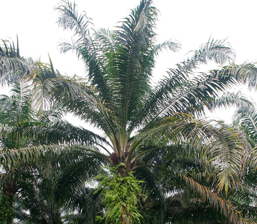 African Oil Palm Seeds (Elaeis guineensis) + FREE Bonus 6 Variety Seed Pack - a $30 Value!