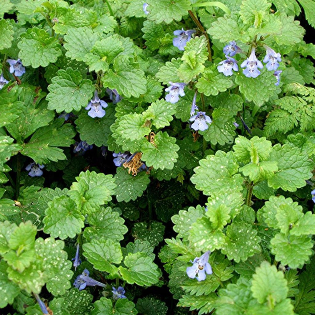Gil Tea Alehoof Ground Ivy Seeds (Glechoma hederacea) + FREE Bonus 6 Variety Seed Pack - a $30 Value!
