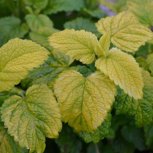 Gold Leaf Balm Seeds (Melissa officinalis) + FREE Bonus 6 Variety Seed Pack - a $30 Value!