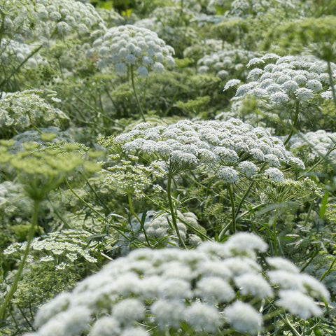 Graceland Laceflower Seeds (Ammi majus)